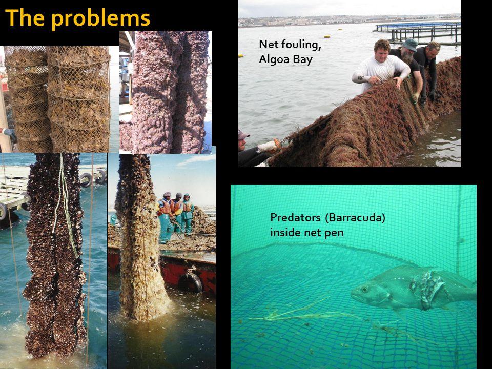 The problems Net fouling, Algoa Bay Predators (Barracuda) inside net pen