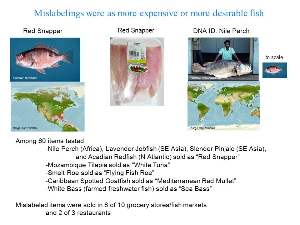 Mislabelings were as more expensive or more desirable fish Red Snapper DNA ID: Nile PerchRed Snapper to scale Among 60 items tested: -Nile Perch (Africa), Lavender Jobfish (SE Asia), Slender Pinjalo (SE Asia), and Acadian Redfish (N Atlantic) sold as Red Snapper -Mozambique Tilapia sold as White Tuna -Smelt Roe sold as Flying Fish Roe -Caribbean Spotted Goatfish sold as Mediterranean Red Mullet -White Bass (farmed freshwater fish) sold as Sea Bass Mislabeled items were sold in 6 of 10 grocery stores/fish markets and 2 of 3 restaurants Range map: FishBase FishBase: D FlescherFishBase: John Casselman