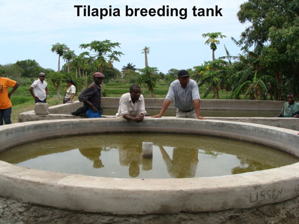Tilapia breeding tank