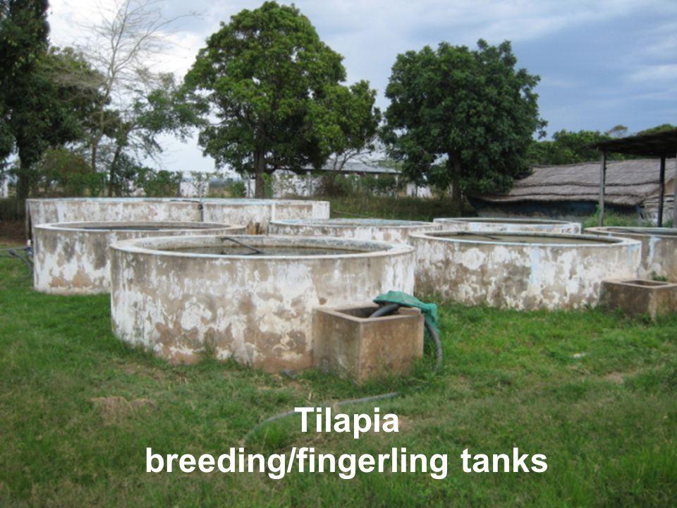 Tilapia breeding/fingerling tanks