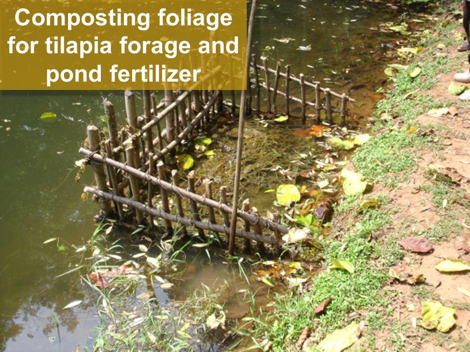 Composting foliage for tilapia forage and pond fertilizer