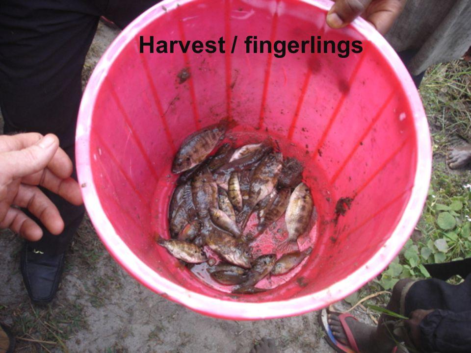 Harvest / fingerlings