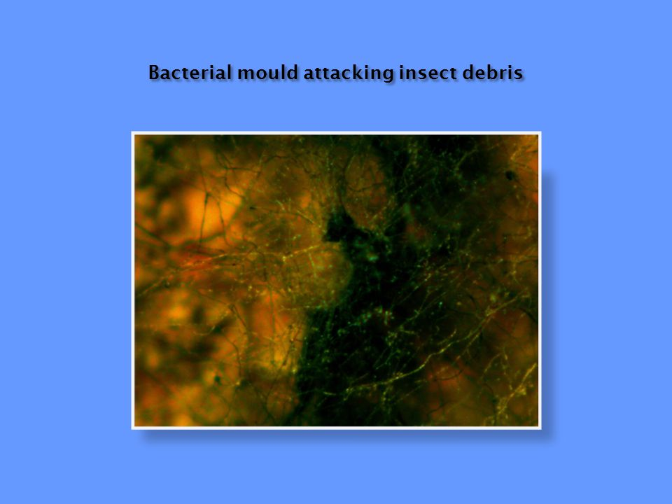 Bacterial mould attacking insect debris