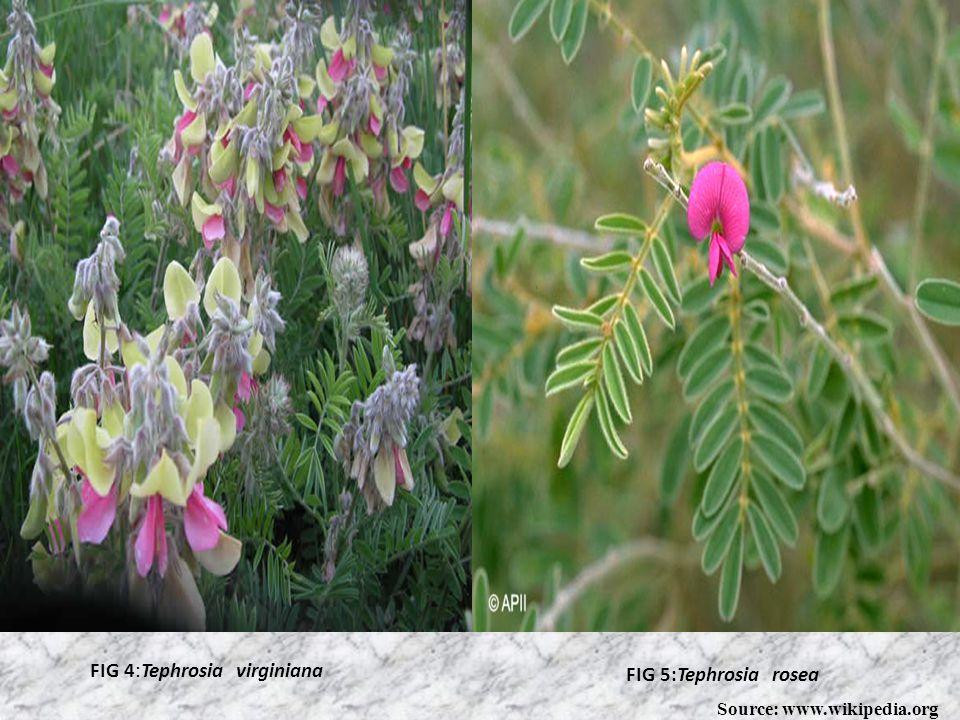 FIG 2 :Tephrosia purpureaFIG 3:Tephrosia vogelii Source: wikipedia. org
