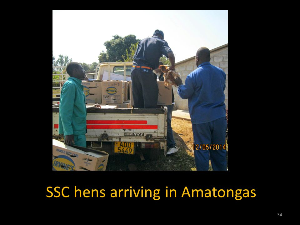 SSC hens arriving in Amatongas 34