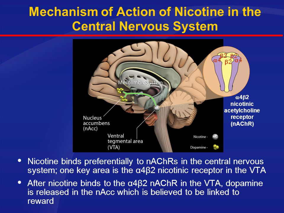 NICOTINE PHARMACODYNAMICS Nicotine binds to receptors in the brain and other sites in the body. Other: Neuromuscular junction Sensory receptors Other