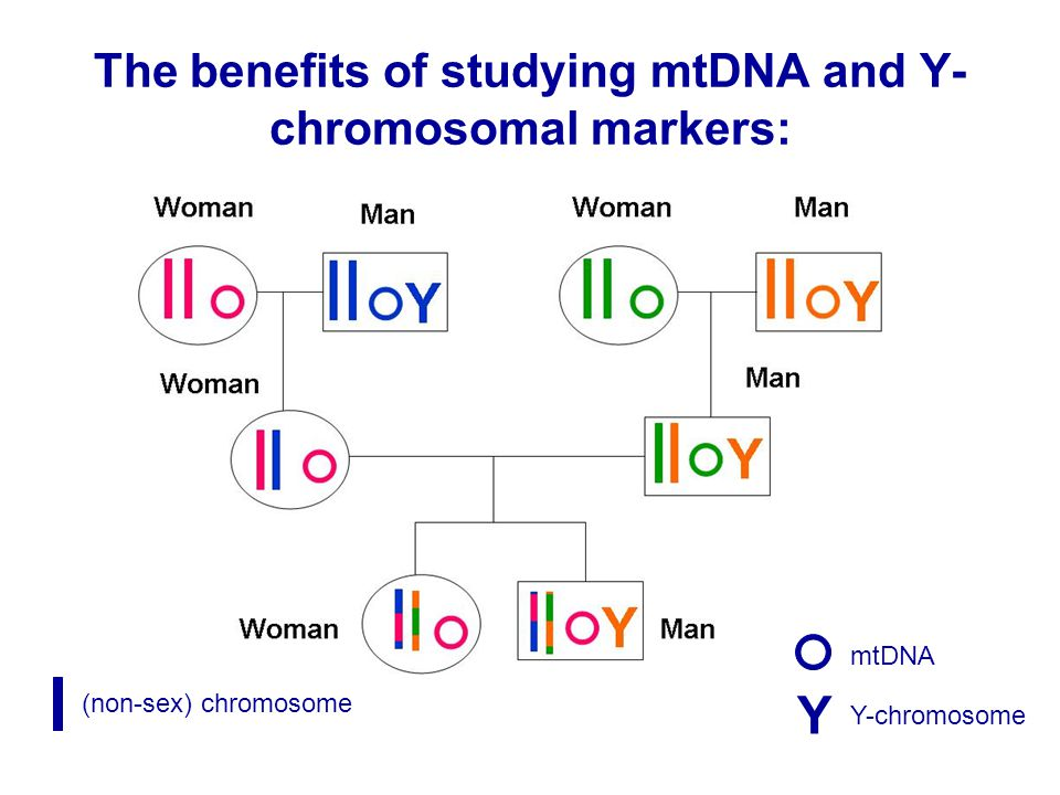 The benefits of studying mtDNA and Y- chromosomal markers: Y (non-sex) chromosome mtDNA Y-chromosome