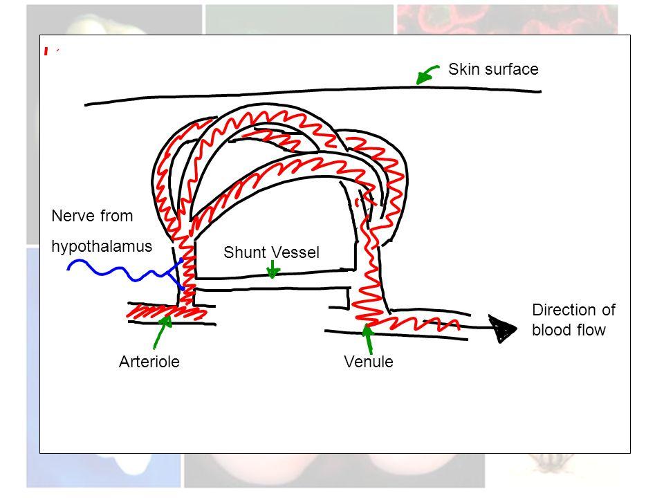 Nerve from hypothalamus ArterioleVenule Shunt Vessel Skin surface Direction of blood flow