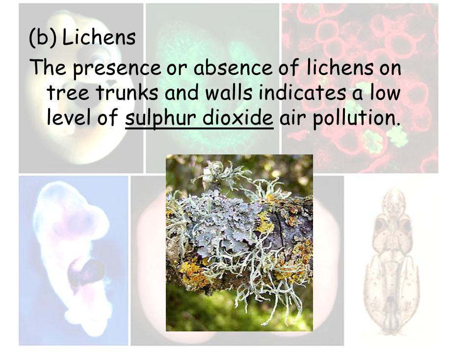 (b) Lichens The presence or absence of lichens on tree trunks and walls indicates a low level of sulphur dioxide air pollution.