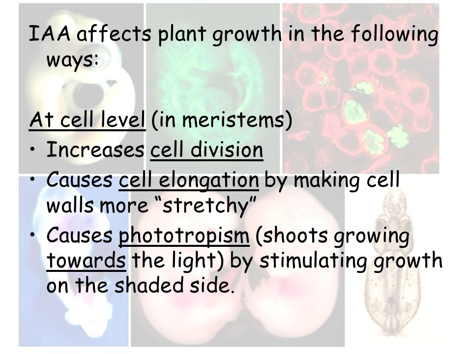 IAA affects plant growth in the following ways: At cell level (in meristems) Increases cell division Causes cell elongation by making cell walls more