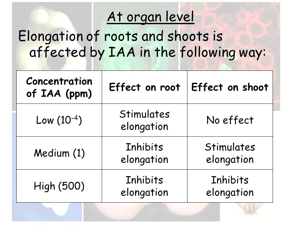 At organ level Elongation of roots and shoots is affected by IAA in the following way: Concentration of IAA (ppm) Effect on rootEffect on shoot Low (1