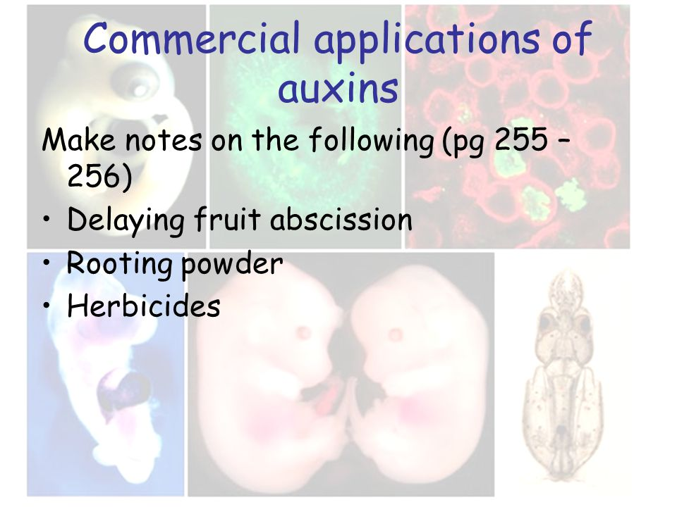 Commercial applications of auxins Make notes on the following (pg 255 – 256) Delaying fruit abscission Rooting powder Herbicides