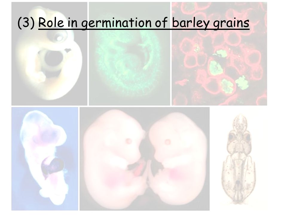(3) Role in germination of barley grains
