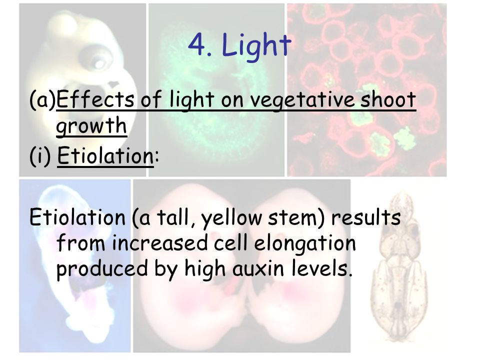 4. Light (a)Effects of light on vegetative shoot growth (i) Etiolation: Etiolation (a tall, yellow stem) results from increased cell elongation produc