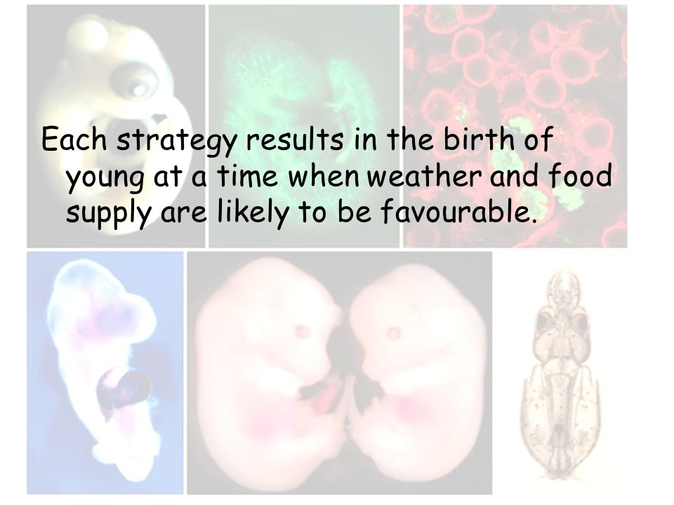 Each strategy results in the birth of young at a time when weather and food supply are likely to be favourable.