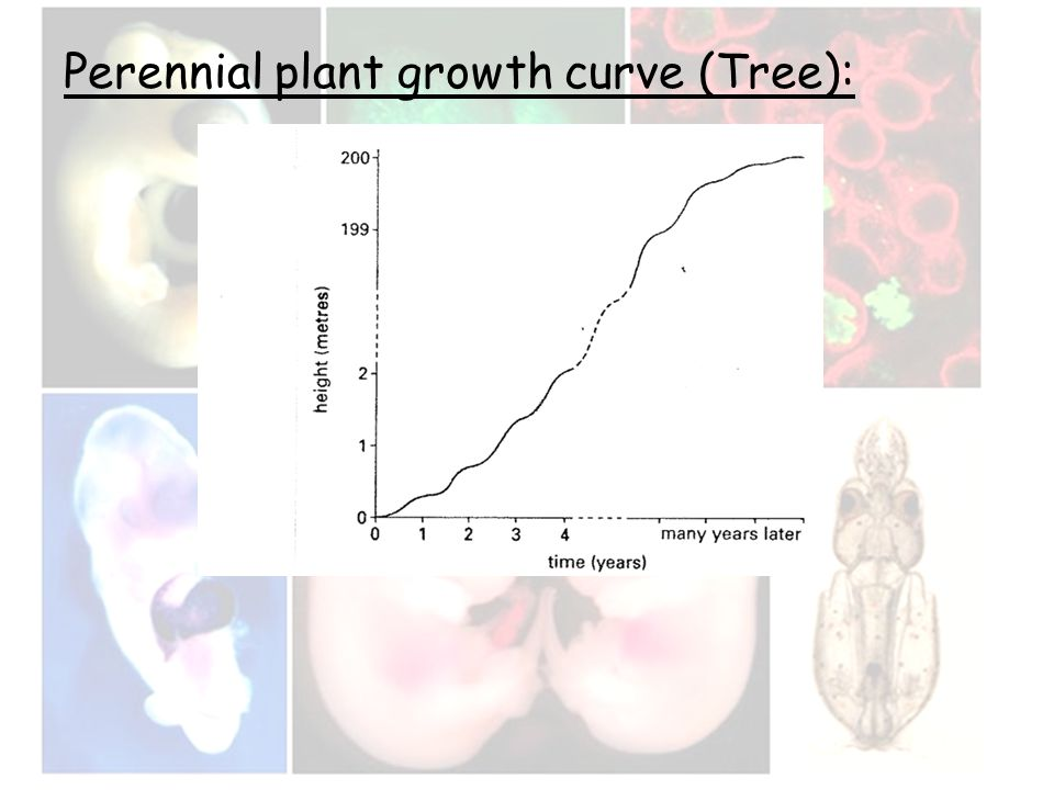 Perennial plant growth curve (Tree):