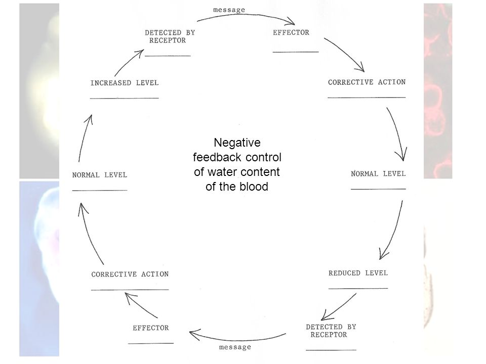 Negative feedback control of water content of the blood
