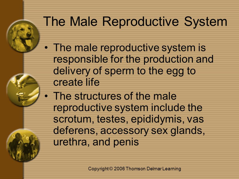 Copyright © 2006 Thomson Delmar Learning The Male Reproductive System The male reproductive system is responsible for the production and delivery of sperm to the egg to create life The structures of the male reproductive system include the scrotum, testes, epididymis, vas deferens, accessory sex glands, urethra, and penis
