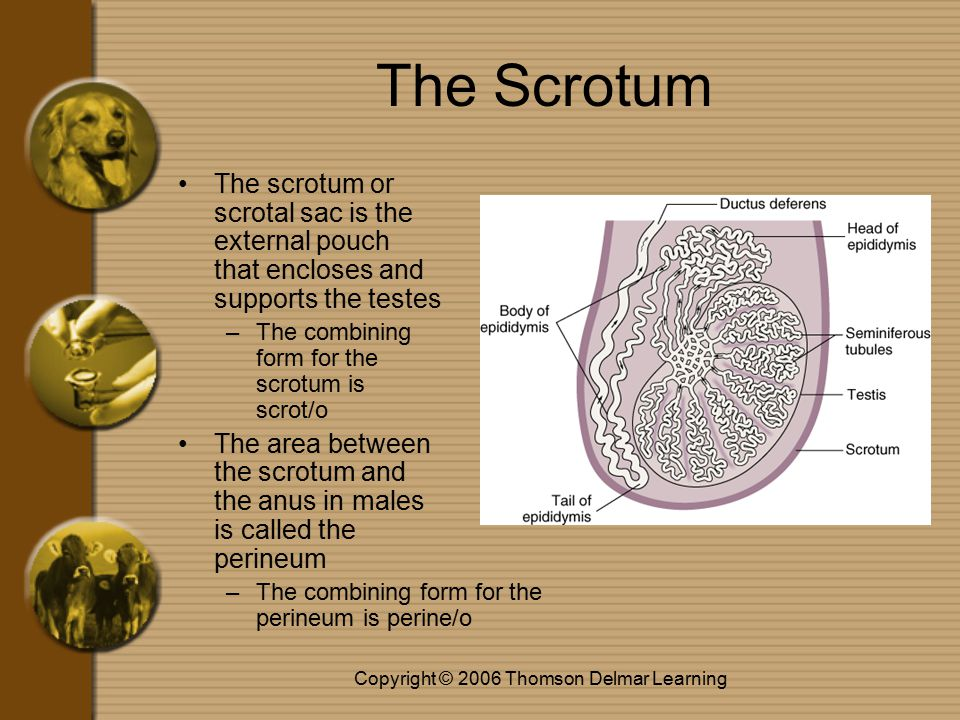 Copyright © 2006 Thomson Delmar Learning The Scrotum The scrotum or scrotal sac is the external pouch that encloses and supports the testes –The combining form for the scrotum is scrot/o The area between the scrotum and the anus in males is called the perineum –The combining form for the perineum is perine/o