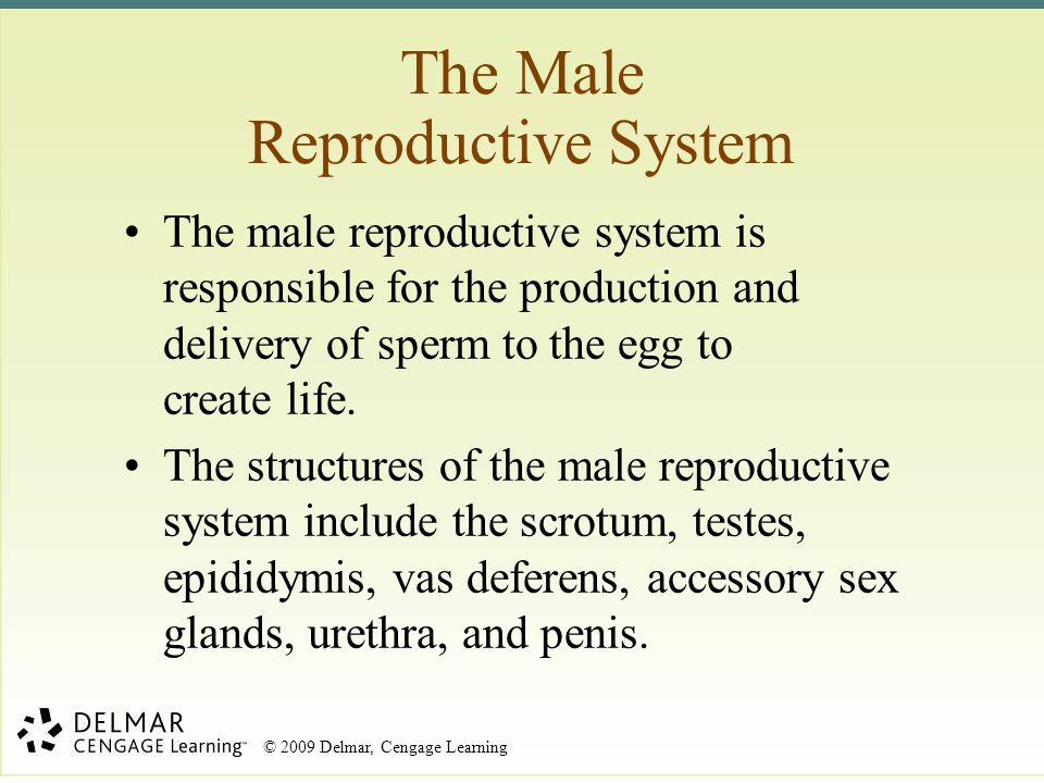 © 2009 Delmar, Cengage Learning The Male Reproductive System The male reproductive system is responsible for the production and delivery of sperm to t