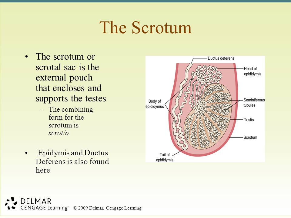© 2009 Delmar, Cengage Learning Terms: Reproductive Phases Proestrus –Follicles of ovary start to grow –Estrogen is produced –Lining of uterus develops Estrus –Female is receptive/ in heat Diestrus –Corpus luteum develops –Estrogen production subsides –Progesterone is produced Anestrus –Cycle is at rest