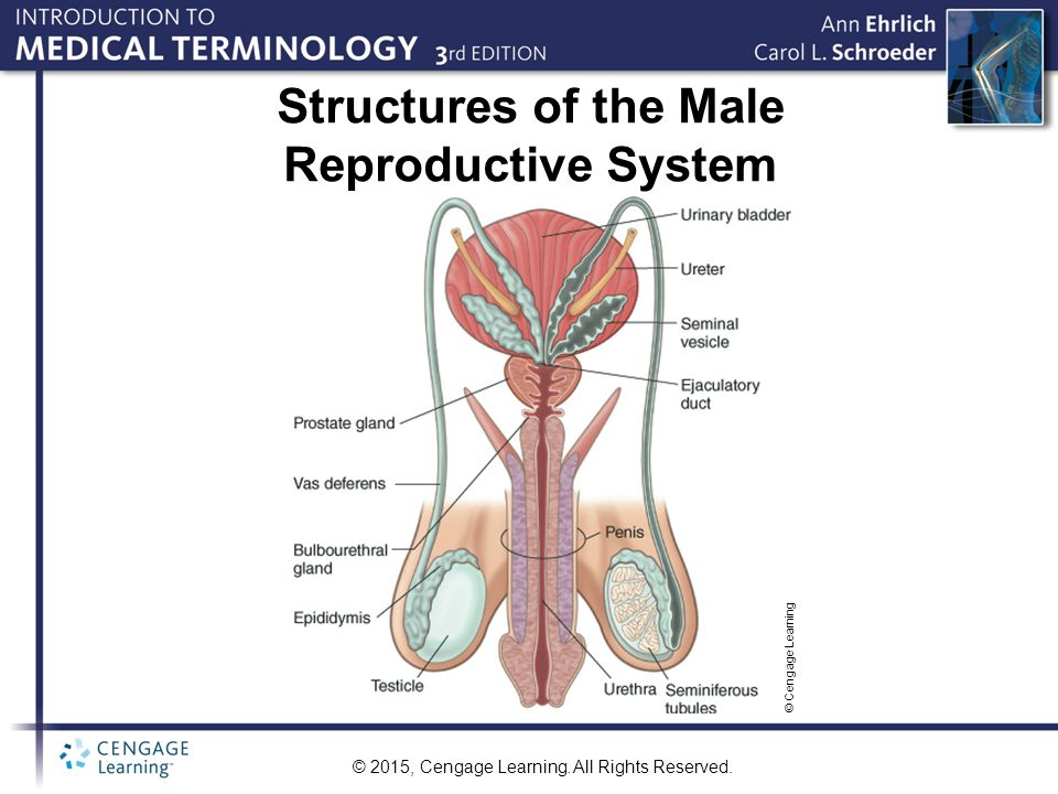© 2015, Cengage Learning. All Rights Reserved. Structures of the Male Reproductive System © Cengage Learning
