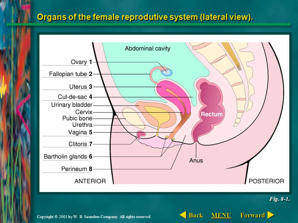 Copyright © 2001 by W. B. Saunders Company. All rights reserved. Organs of the female reprodutive system (lateral view). Fig. 8-1. Forward Back MENU