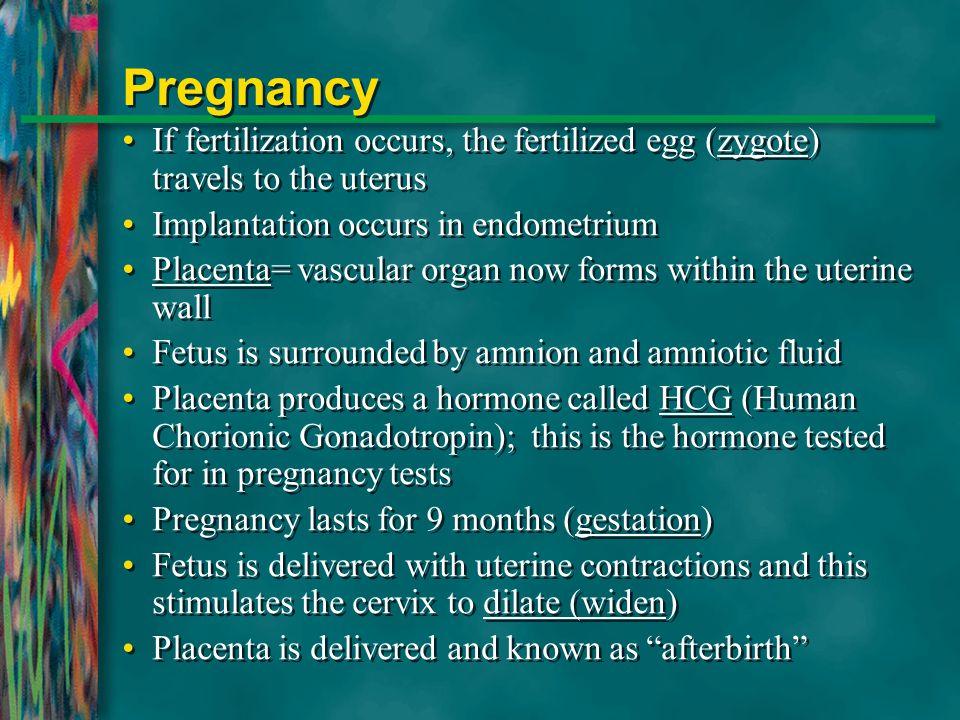 Pregnancy If fertilization occurs, the fertilized egg (zygote) travels to the uterus Implantation occurs in endometrium Placenta= vascular organ now f