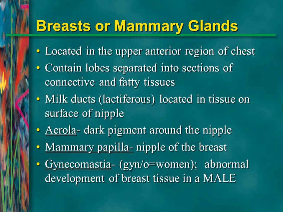 Breasts or Mammary Glands Located in the upper anterior region of chest Contain lobes separated into sections of connective and fatty tissues Milk duc