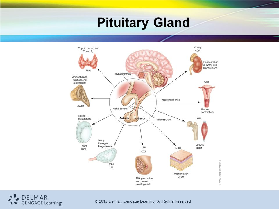 © 2013 Delmar, Cengage Learning. All Rights Reserved Pituitary Gland