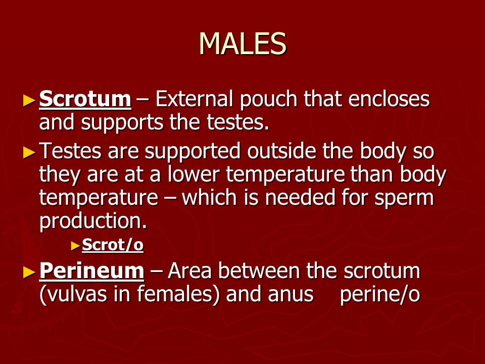 MALES ► Scrotum – External pouch that encloses and supports the testes. ► Testes are supported outside the body so they are at a lower temperature tha