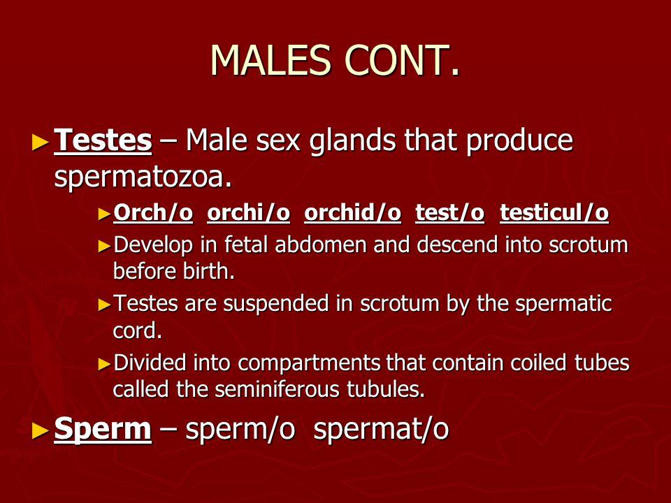 MALES CONT. ► Testes – Male sex glands that produce spermatozoa.