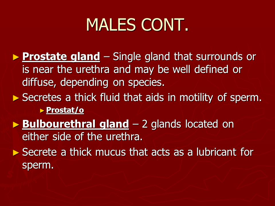 MALES CONT. ► Prostate gland – Single gland that surrounds or is near the urethra and may be well defined or diffuse, depending on species. ► Secretes