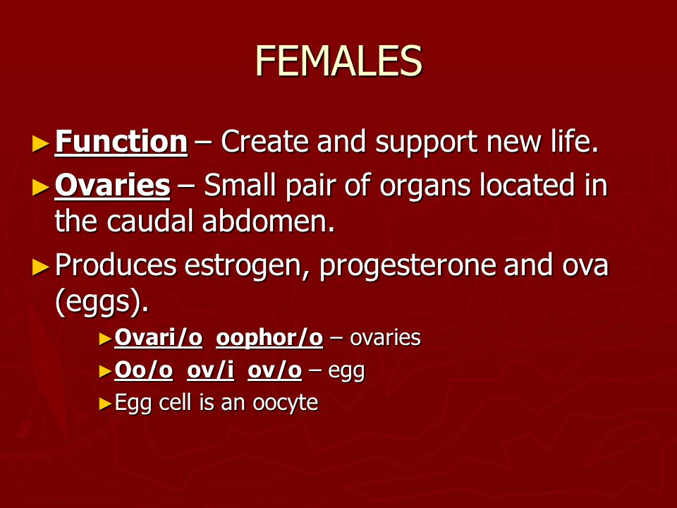 FEMALES ► Function – Create and support new life. ► Ovaries – Small pair of organs located in the caudal abdomen. ► Produces estrogen, progesterone an