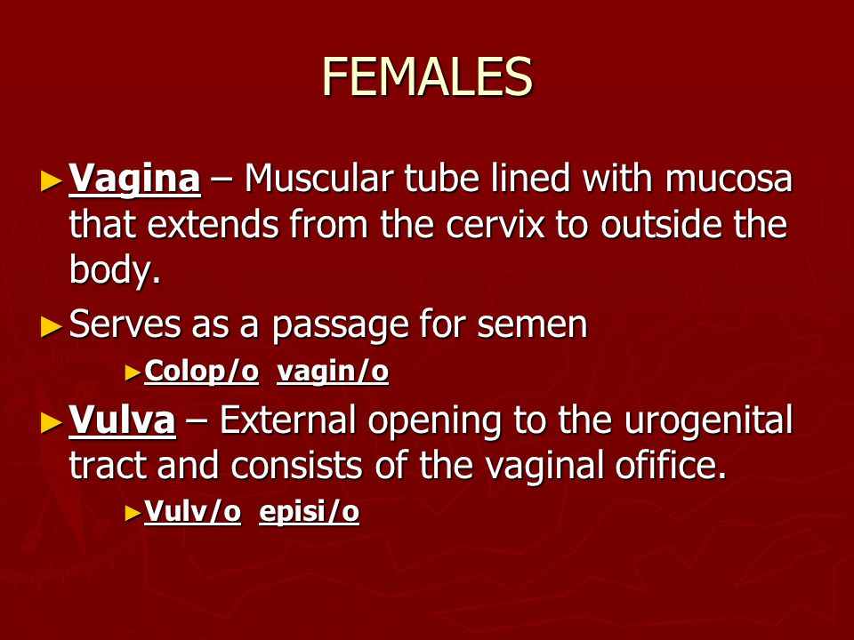 FEMALES ► Vagina – Muscular tube lined with mucosa that extends from the cervix to outside the body. ► Serves as a passage for semen ► Colop/o vagin/o