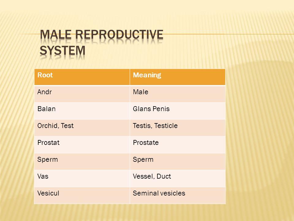 RootMeaning AndrMale BalanGlans Penis Orchid, TestTestis, Testicle ProstatProstate Sperm VasVessel, Duct VesiculSeminal vesicles