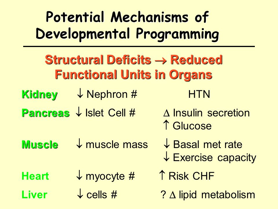 Potential Mechanisms of Developmental Programming Kidney Kidney  Nephron #HTN Pancreas Pancreas  Islet Cell #  Insulin secretion  Glucose Muscle Muscle  muscle mass  Basal met rate  Exercise capacity Heart  myocyte #  Risk CHF Liver  cells #.