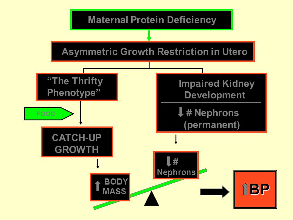 FOOD CATCH-UP GROWTH BP Asymmetric Growth Restriction in Utero Maternal Protein Deficiency Impaired Kidney Development # Nephrons (permanent) The Thrifty Phenotype BODY MASS # Nephrons
