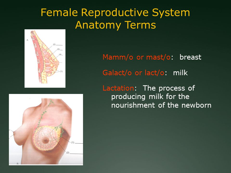 Female Reproductive System Anatomy Terms Mamm/o or mast/o: breast Galact/o or lact/o: milk Lactation: The process of producing milk for the nourishment of the newborn