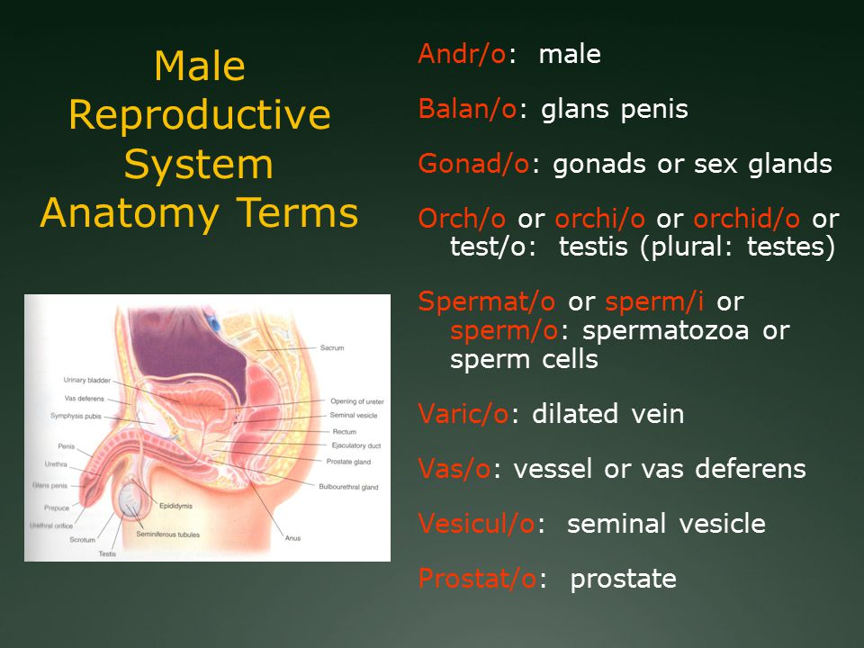Male Reproductive System Anatomy Terms Andr/o: male Balan/o: glans penis Gonad/o: gonads or sex glands Orch/o or orchi/o or orchid/o or test/o: testis (plural: testes) Spermat/o or sperm/i or sperm/o: spermatozoa or sperm cells Varic/o: dilated vein Vas/o: vessel or vas deferens Vesicul/o: seminal vesicle Prostat/o: prostate