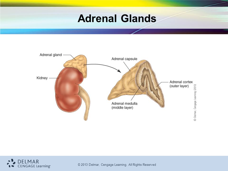 © 2013 Delmar, Cengage Learning. All Rights Reserved Adrenal Glands
