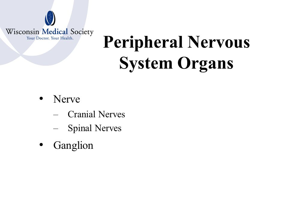 Central Nervous System Organs Brain –Cerebrum or Forebrain Ventricles –Midbrain and Interbrain Thalamus Hypothalamus –Hindbrain Cerebellum –Brain Stem –Pons –Medulla Oblongata Spinal Cord Meninges