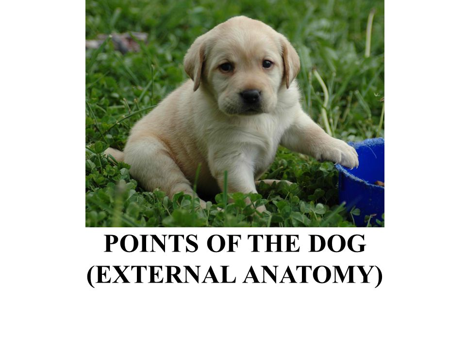 POINTS OF THE DOG (EXTERNAL ANATOMY)