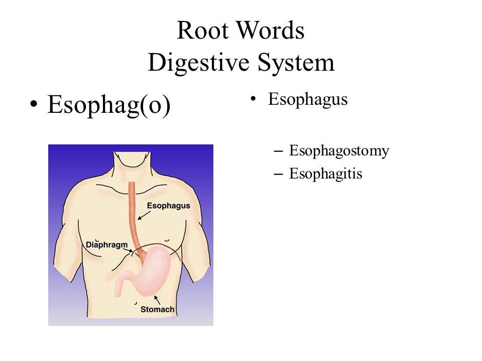 Root Words Digestive System Esophag(o) Esophagus – Esophagostomy – Esophagitis