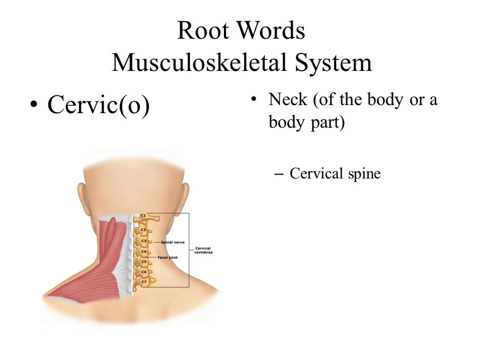 Root Words Musculoskeletal System Cervic(o) Neck (of the body or a body part) – Cervical spine