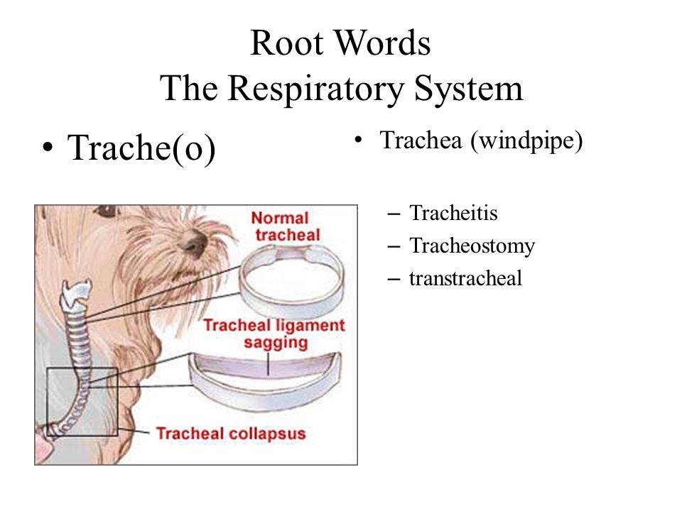 Root Words The Respiratory System Trache(o) Trachea (windpipe) – Tracheitis – Tracheostomy – transtracheal
