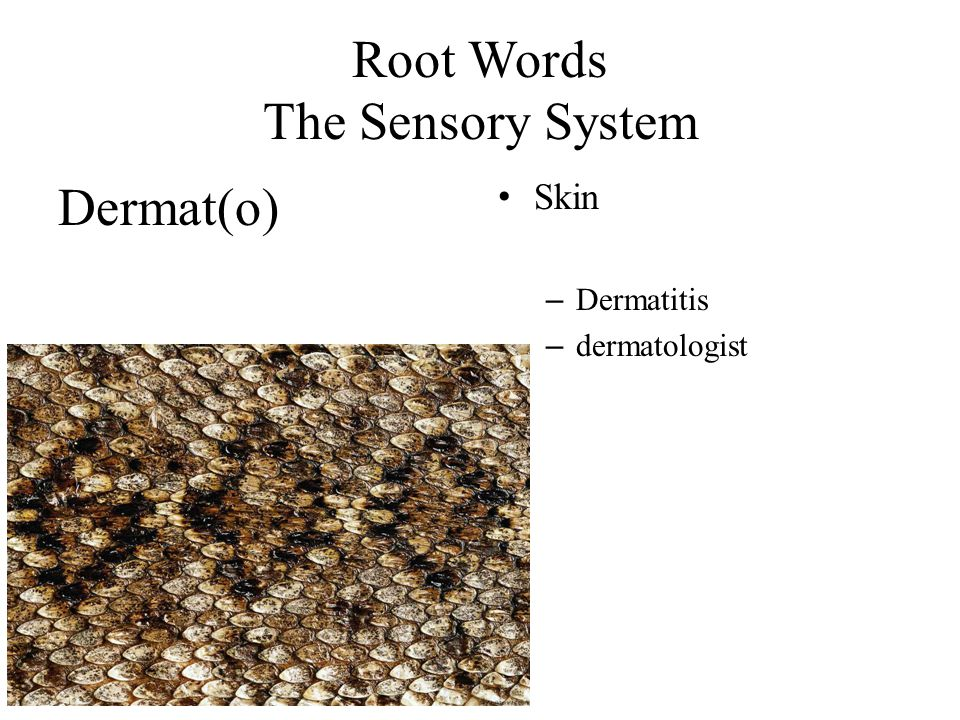 Root Words The Sensory System Dermat(o) Skin – Dermatitis – dermatologist