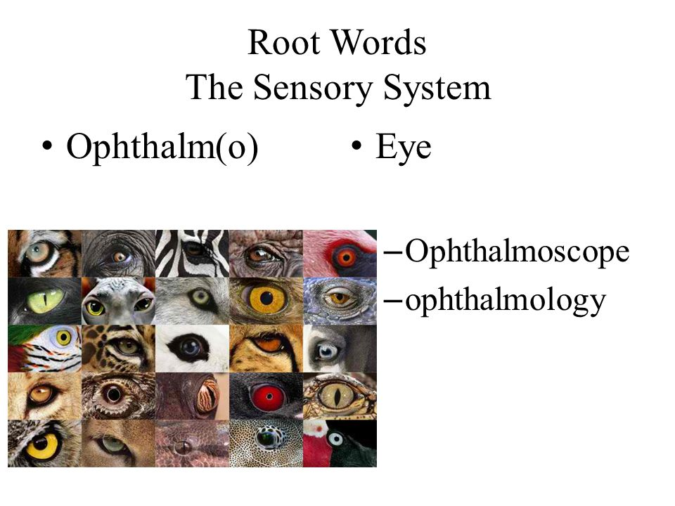 Root Words The Sensory System Ophthalm(o) Eye – Ophthalmoscope – ophthalmology