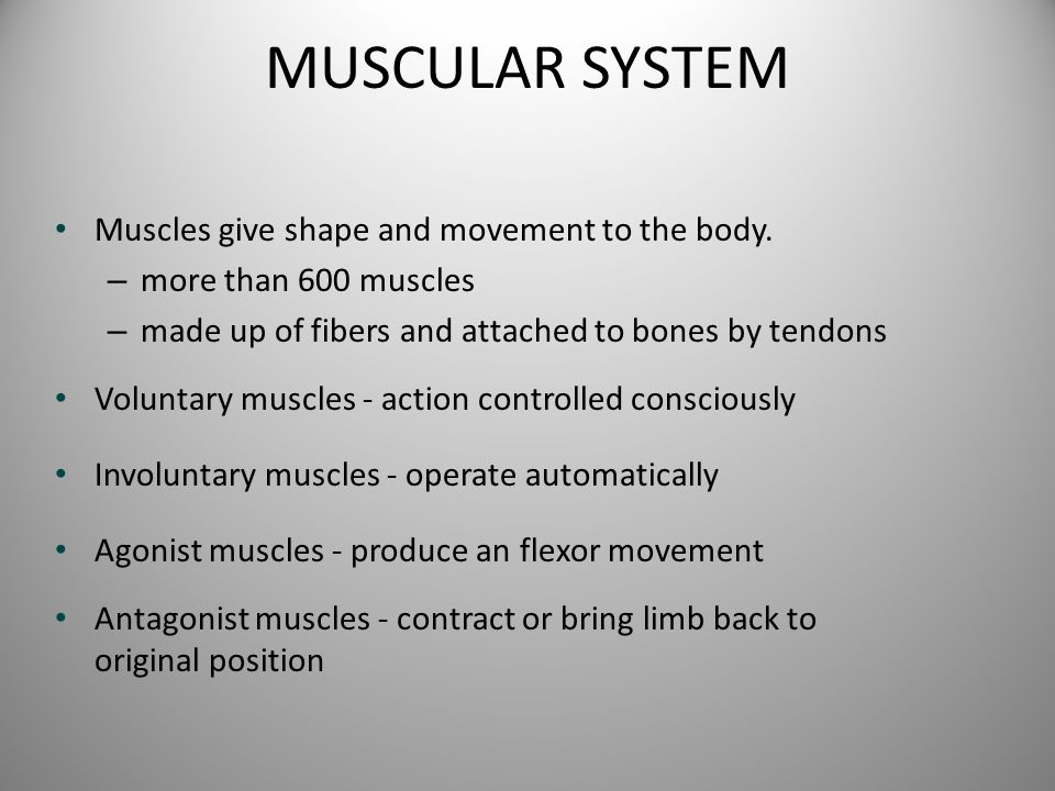 MUSCULAR SYSTEM Muscles give shape and movement to the body. – more than 600 muscles – made up of fibers and attached to bones by tendons Voluntary mu