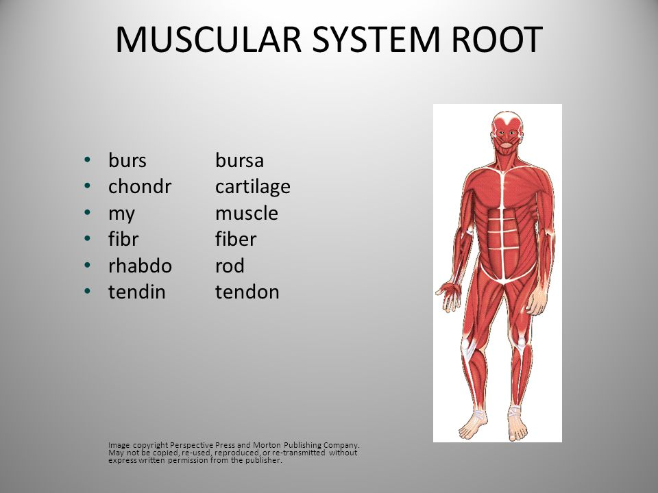 MUSCULAR SYSTEM ROOT bursbursa chondrcartilage mymuscle fibrfiber rhabdorod tendintendon Image copyright Perspective Press and Morton Publishing Compa